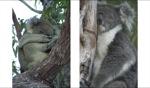 Koala / Perth