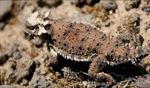 Thorny devil / Mesa, Baja California