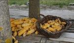 Mais, Grundnahrungsmittel / Galicia