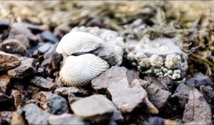 Shells, Scalpay