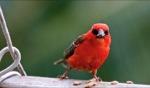 Birdie / Mauritius