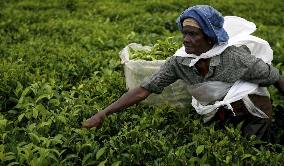 Picking Tea / Curepipe, Mauritius