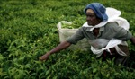 Picking Tea / Curepipe, Mauritius