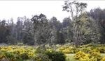 Trees / Tasmania