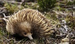 I can smell something... / Echidna, somewhere, Tasmania