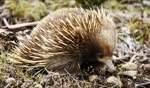 Bad hair day... / Echidna, somewhere, Tasmania