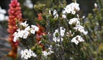 Flowers / Mount Field, Tasmania