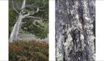 Gum Tree / Tasmania