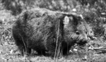 Wombat / Cradle Mountain, Tasmania